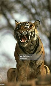 Bengal Tiger Panthera Tigris Male Snarling Ranthambhore ...