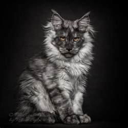 artist photographs maine coon cats making them look like