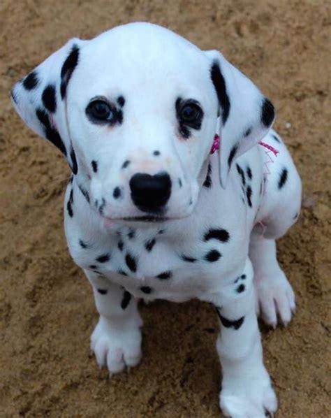 images  dalmatian puppies  pinterest