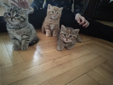 PP.lv Dzīvnieki Kaķi, kaķēni: 240.00€ Шотландские котята ...
