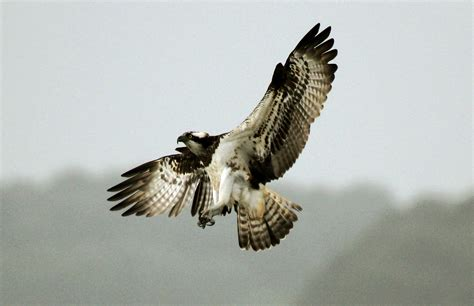 Images Of Osprey Osprey Mallorca Bird