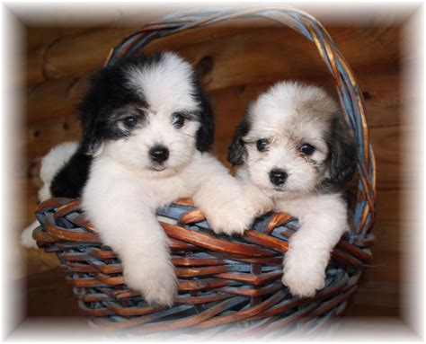 cute havanese puppies  animal pictures