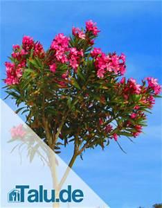Oleander Winterhart Kaufen : oleander hat gelbe helle oder welke bl tter was hilft ~ Eleganceandgraceweddings.com Haus und Dekorationen