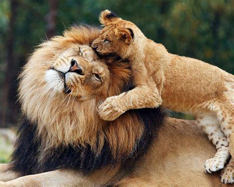 lions game  parent  cub lion wallpaper hd