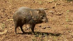 Collared Peccary of Costa Rica-Pig-like but not a Pig ...
