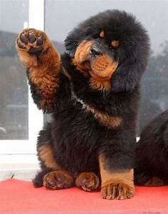 Tibetan Mastiff puppy. Looks like a big teddy bear. I want ...
