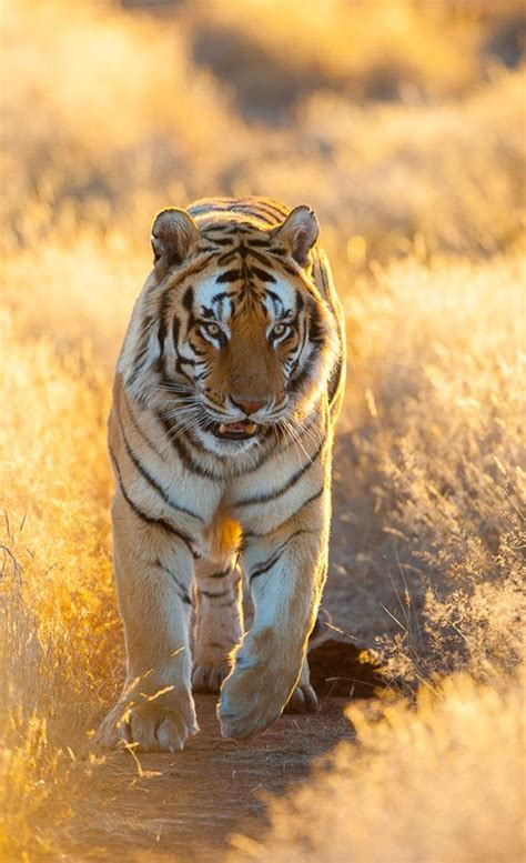 Pin Karen Smith Lions Tigers