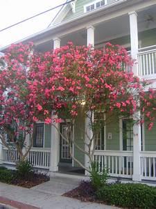 Buy Oleander  For Sale In Orlando  Sanford  Kissimmee