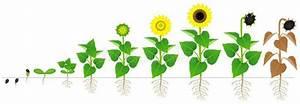 Sunflower Flower Morphology