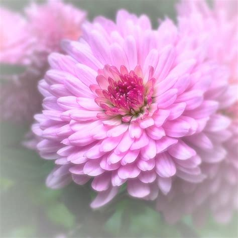 Pink Mums In Bloom Photograph by Lisa Pearlman