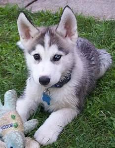 Adorable Husky Puppies - Dogs Photo (30206371) - Fanpop