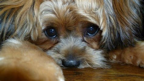 images  shorkie puppies  pinterest  cute kinds  dogs  future baby