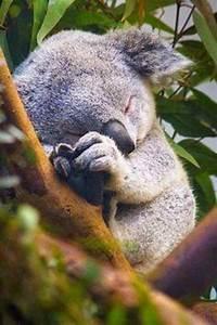 Sleeping Koala ... too cute! | koala | Pinterest