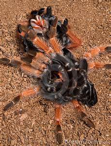 tarantula under her shed skin royalty free stock photos