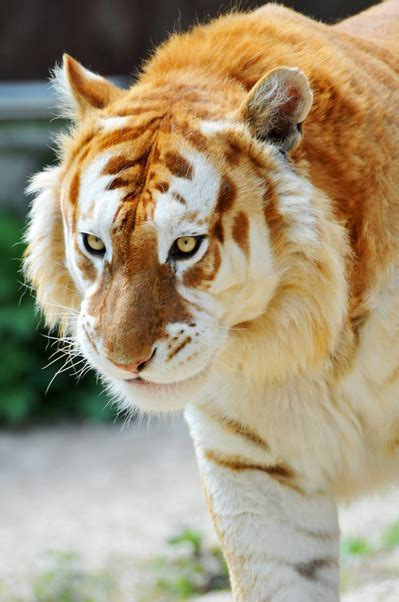 The Golden Tiger Inotternews