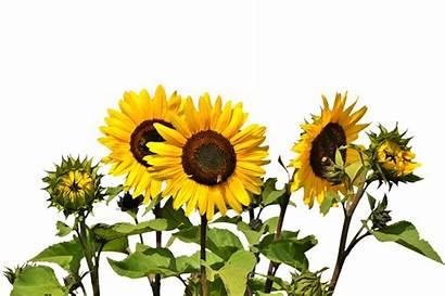 Sunflower Transparent Sunflowers Clipart Flower Sun Yellow