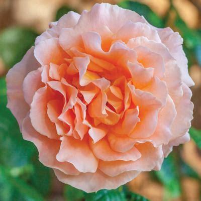 polka root rosa climber polka root regan nursery