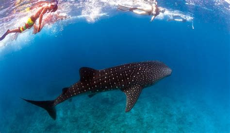 reef ningaloo whale sharks australia swim greatest whales swimming wa australian majestic holidays experiences