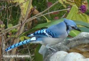 Blue Texas Bird Identification