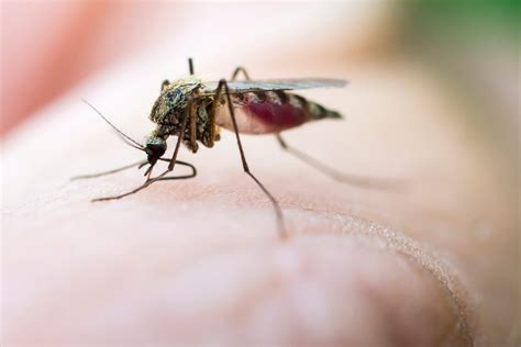 what helps keep mosquitoes away swatting can help you to keep mosquitoes away