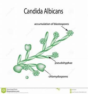 Structure Of Candida Albicans  Infographics  Vector
