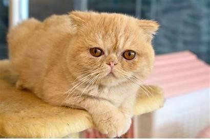 Exotic Shorthair Cat Cats Orange Kucing Breeds