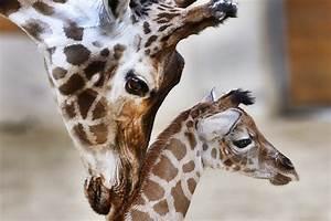 Where Have All The Giraffes Gone? | On Point  Giraffe