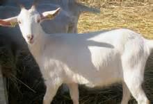 cuisiner le cabri viande de chèvre