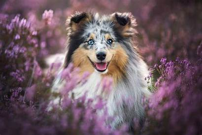 Sheepdog Shetland Background