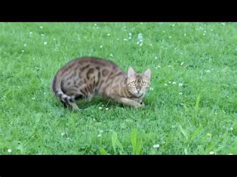 Bengal Cat Attacks Camera 4k Youtube