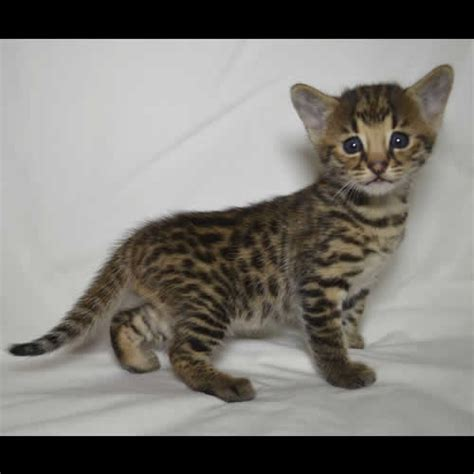 Past Kittens Pictures Of Savannah Kittens For Sale From