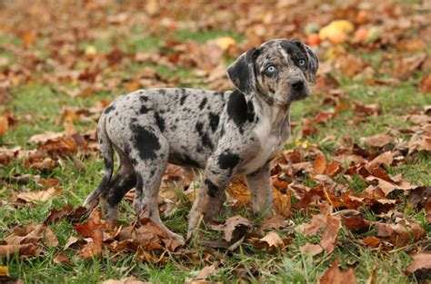 louisiana catahoula leopard dog info temperament puppies pictures