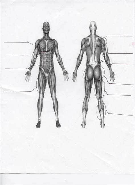 Pics For > Muscles Of The Body Worksheet