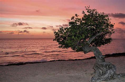 Divi Divi Aruba Photograph by DJ Florek