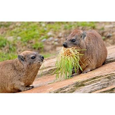 Rock hyraxes  animals Pinterest