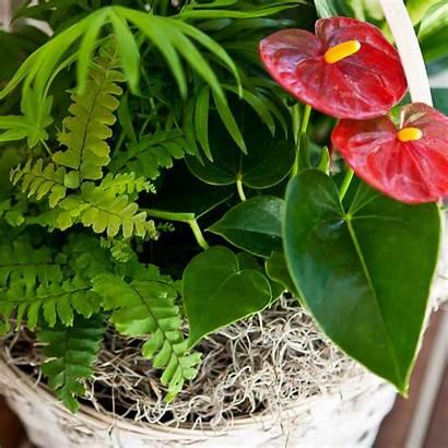 Tropical Foliage Plants Anthurium Basket Flower Flamingo