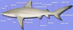 Info Tiger Shark  Tiger Shark Adaptations