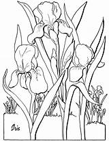 Coloring Adult Iris Pages Flower Floral Adults Flowers Printable Clipart Fairy Sheet Thegraphicsfairy Quilling Clip Favorite sketch template
