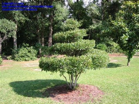 plantfiles pictures wax myrtle southern bayberry