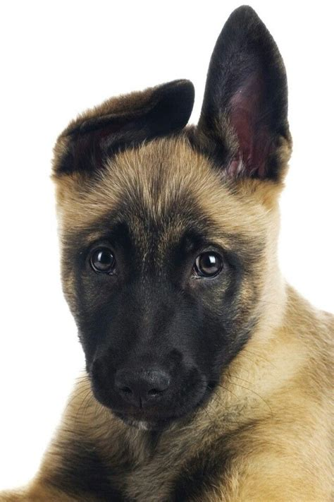 belgian malinois and german shepherd dog breeds picture