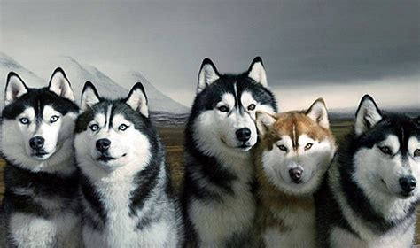 siberian husky wallpapers and background images stmed net