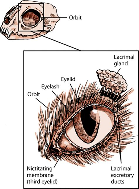 eye structure  function  cats cat owners