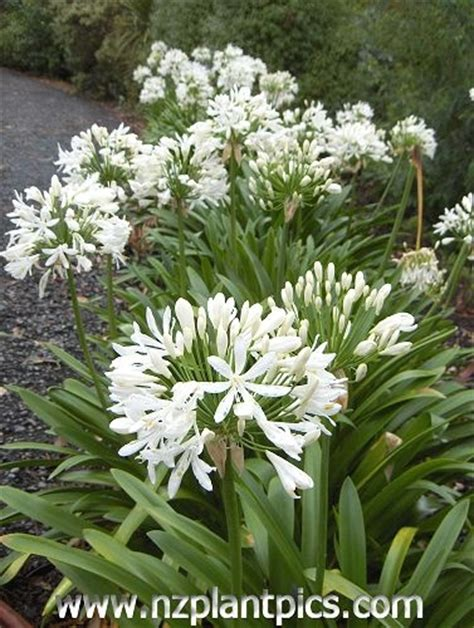 white agapanthus varieties 28 best images about driveway porch ideas on pinterest front porches patio design and