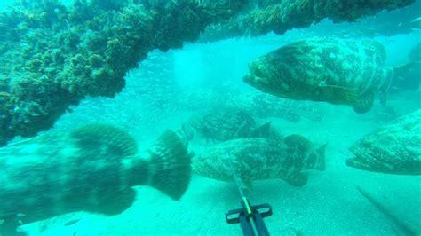grouper wild gone goliath jewfish