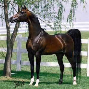 arabian horses graphics and comments