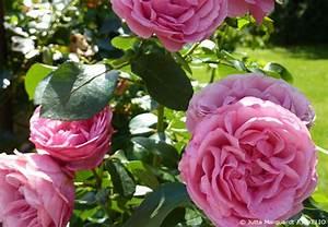 Rosen Schneiden Zeitpunkt : rosen richtig schneiden garten hausxxl garten hausxxl ~ Frokenaadalensverden.com Haus und Dekorationen