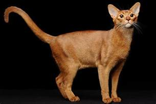 abyssinian cat for 7 agile facts about abyssinian cats mental floss