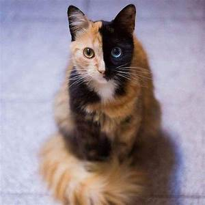 Meet Quimera, a Chimera Cat With a Purrfectly Two-Toned Face