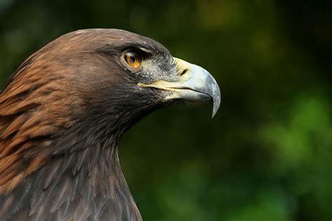 bird of prey wikipedia
