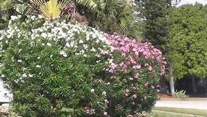 White  Pink And Red Oleander Comparison